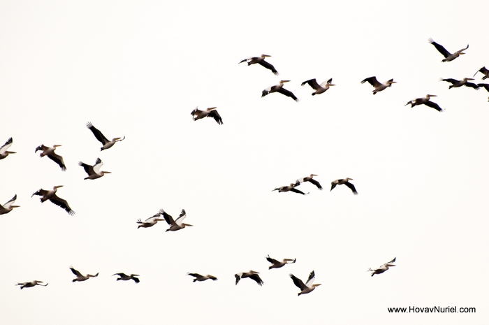 Pelican migration in Israel