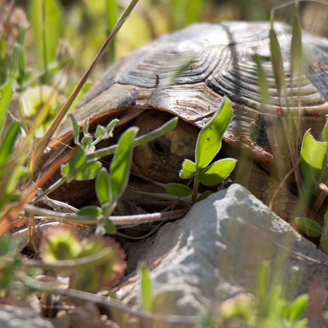 Playing hide & seek with a Common Tortoise can be challenging for a second