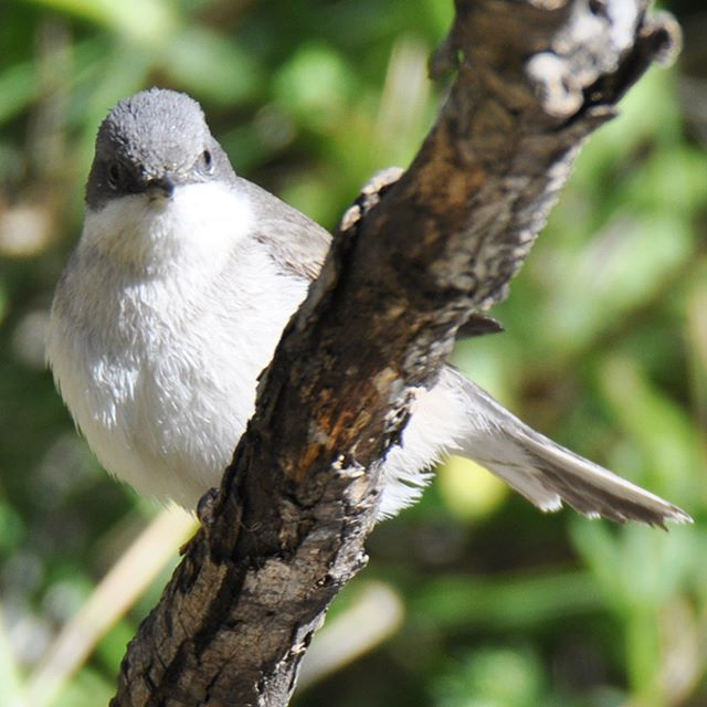 this adorable Lesser whitethroat looks like a big cotton ball :)