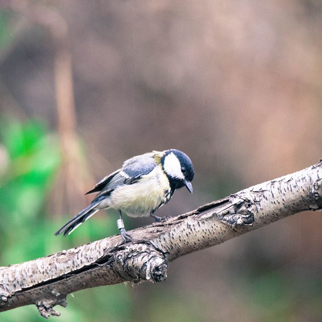 Please have a look on the greatest tilted tit ever discovered #GreatTit