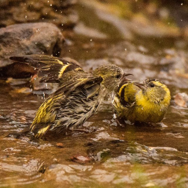 I might just witnessed Eurasian siskin family feud