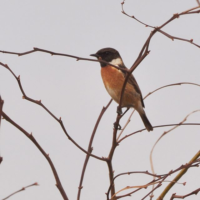 Beautiful male European Stonechat