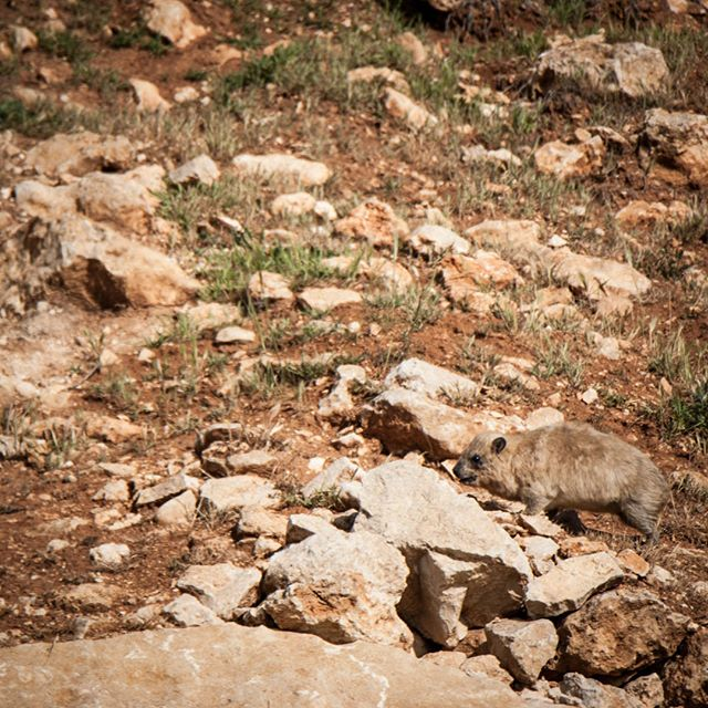 Camouflage Level: Legendary . . . . . . #RockHyrax #jerusalem #israel #wildlife #nice #nofilter #explore_wildlife #wildlife #wildlifephotography #picoftheday #photooftheday #cute #cuteoftheday #rock #שפןסלע #שפניסלעהדברהכיחמודבעולם #ig_myshot #ig_nature #ig_naturelovers #wildlife_vision #wildlifephotography #wildlife_seekers #naturereserve #naturebrilliance #klippschliefer #procaviacapensis #dassie #furryperfection
