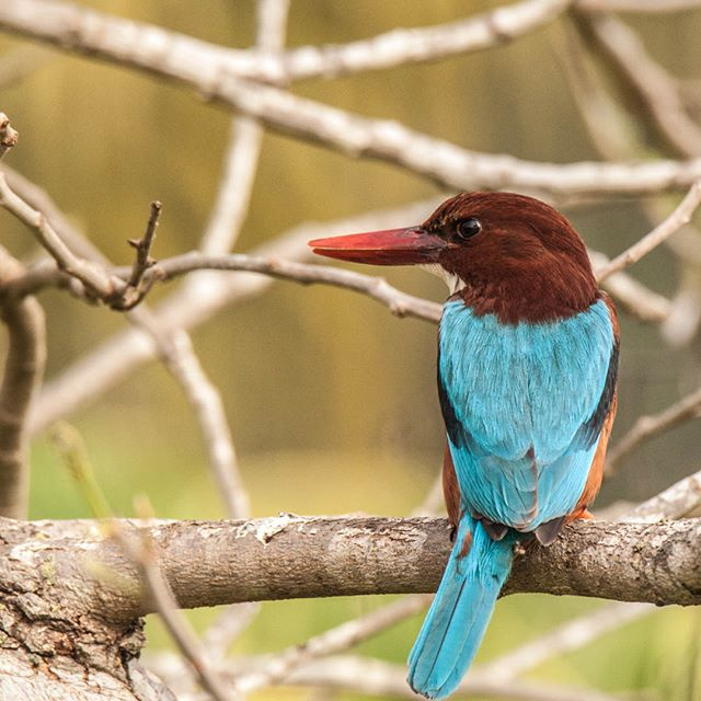 #TIL #WestBengal state bird is this superb spacement: White-throated kingfisher