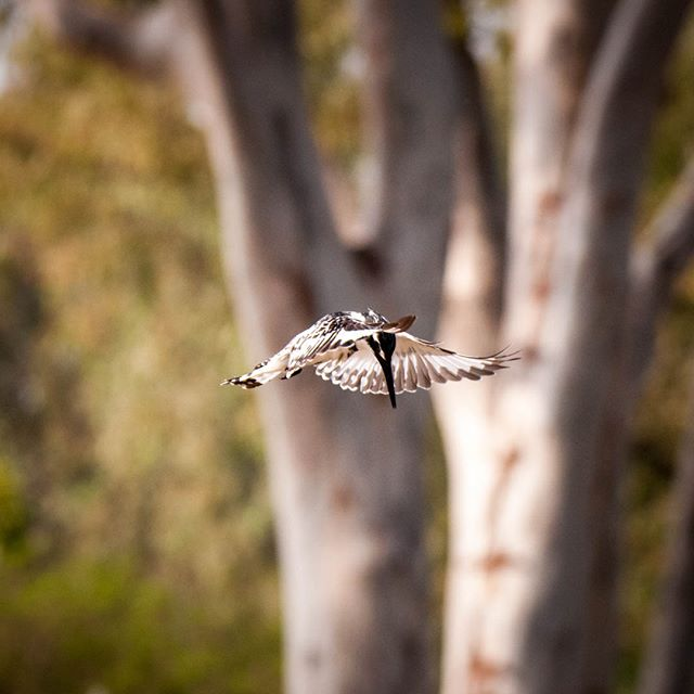 Pied Kingfisher preparing for launch . . .
