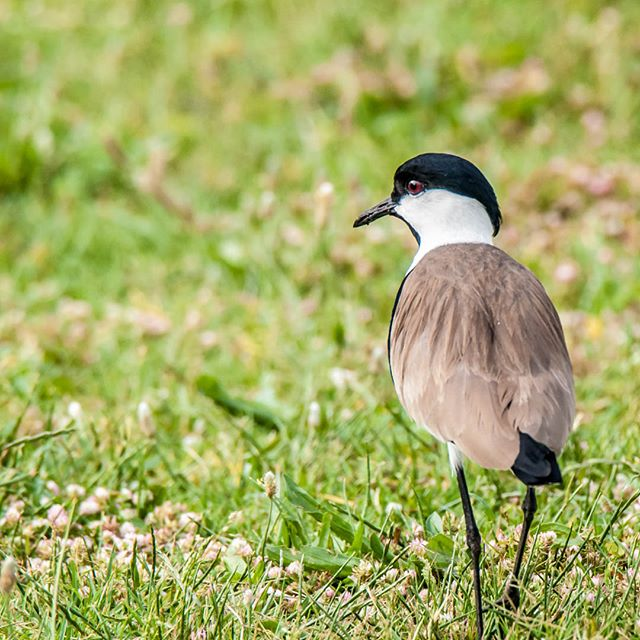 No one can ignore Spur Winged Lapwing call, it's always very dramatic call, so i am wondering if they are always so jumpy . .