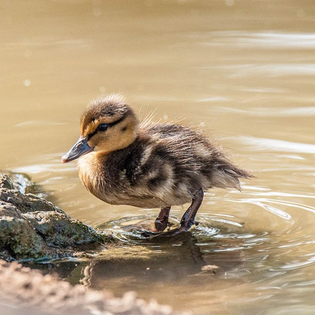 there is a special beauty in Mallard chick
