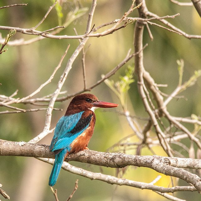 this white throated kingfisher has the right look