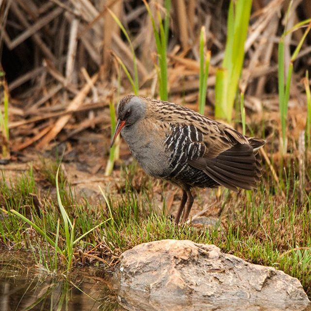 Although usually secretive water rail can become confiding but are still far more often heard than seen, so i consider myself lucky