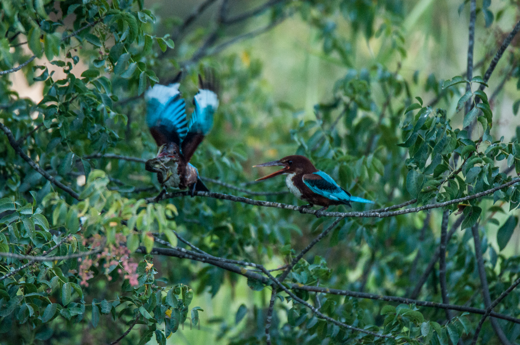 white breasted kingfisher catching a frog